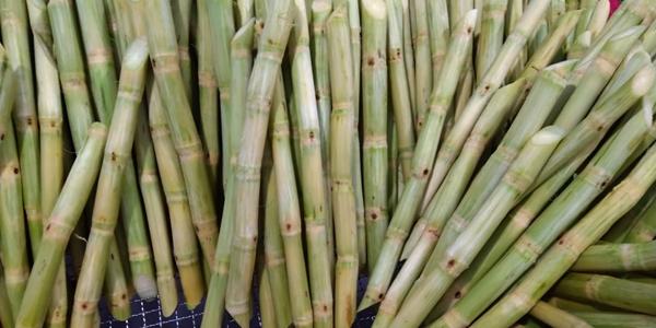 Frozen sugarcane stalks exporter