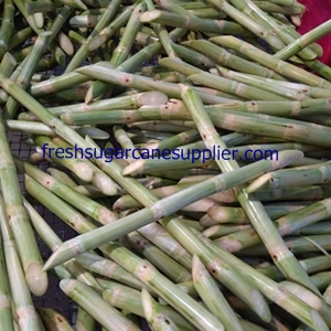 Fresh sugar cane stalks