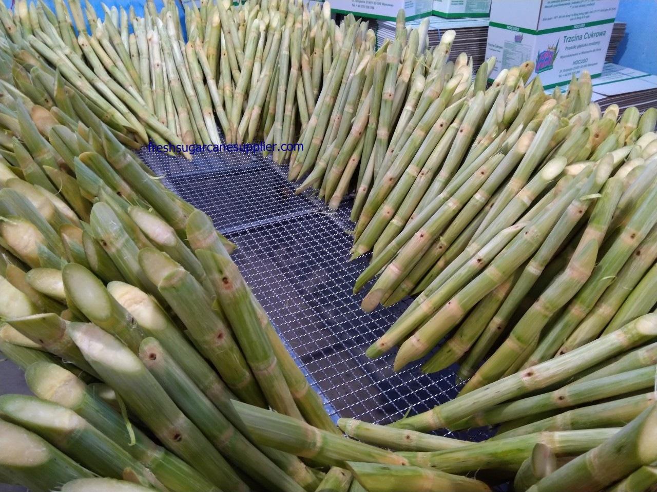 sugarcane exporter